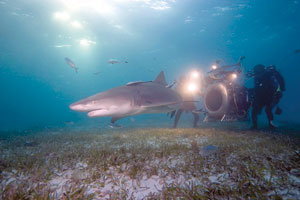 "Howard Hall and IMAX 3D crewfilm Lemon Shark,Ginglymostoma cirratum, in the Bahamas for ""Under the Sea 3D."" Michele Hall photo"